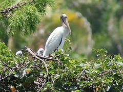 Wood Storks 1 fledging 2 nestlings 05-20190611 (Kenneth Cole Schneider) Tags: florida orangeroadrookery weston
