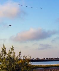 Vol de flamands roses (louis.labbez) Tags: france 2019 palavas labbez navigation camargue flamand rose oiseau bird vol ciel palavasétang water palavaslesflots languedoc