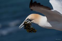 Nistmaterial.... (wernerlohmanns) Tags: wasservögel wildlife natur outdoor sigma150600c schärfentiefe basstölpel lummenfelsen helgoland deutschland lummenfeisen nikond750 d750