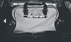 Prête à partir... (esterc1) Tags: coche maletero bolsa viaje peluche conejo flickrfriday hittheroad viajar vacaciones