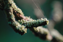sticky finger (shanahands2) Tags: twig stick lichen web