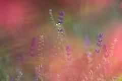 Lavender (agnieszka.a.morawska) Tags: helios44m bokehlicious bkhq beyondbokeh garden bokeh lavender