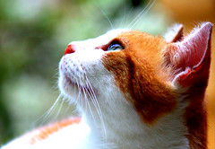 Cat portrait by iezalel williams IMG_2980-004 - Canon EOS 700D (iezalel7williams) Tags: cat photo orange white green portrait animal pet beautiful cute feline closeup photography nature nice love light lovely fauna face expression focusing observation consciousness soul adorable preciouslife