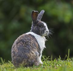 Conejo de Jardin-Backyard Bunny (rafyrodriguezphotography) Tags: bunny conejo naturaleza nature mammal colombia