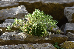 Photo of Draba aizoides - yellow whitlow-grass - in fruit