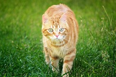 Spritz (En memoria de Zarpazos, mi valiente y mimoso tigre) Tags: cat kitten ginger orange tabby garden grass gato chat micio katze giardino jardín greeneyes ojosverdes occhi verdi