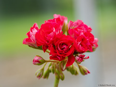 beautiful red (Rourkeor) Tags: ayrshire culzeangardens mzuikodigitaled12‑100mm140ispro m43 maybole omdem1markii olympus scotland summer uk bloom buds depthoffield floral flower greenhouse mft microfourthirds red