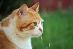 Gino (En memoria de Zarpazos, mi valiente y mimoso tigre) Tags: cat kitten gato micio chat gatto perfil profilo orangeandwhitecat garden giardino jardín grass greeneyes