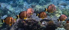 White-Spotted Surgeonfish (dfinney23) Tags: dfinney23 2015 hawaii kona bigisland snorkeling underwater fish