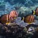 White-Spotted Surgeonfish
