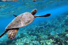 Time for a breath (dfinney23) Tags: dfinney23 2015 hawaii kona bigisland snorkeling underwater sea turtle