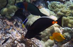 Hawaiian Fish Assortment (dfinney23) Tags: dfinney23 2015 hawaii kona bigisland snorkeling underwater fish