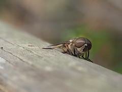 Tabanus Sudeticus. (Wilhelmus15) Tags: olympusomdem5markii zuiko60mmf28macro olympusincamerafocusstackingfeature horsefly tábano