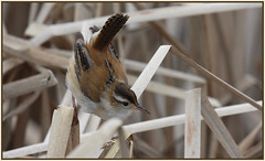 Marsh wren bugged by a drone. (Ludo (Lone wolf) Bogaert.) Tags: xp