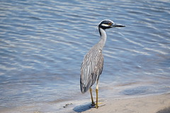 Yellow Crowned Night Heron (arielfischer) Tags: nyctanassaviolacea yellowcrownednightheron krabbenreiher martinetecoronado bihoreauviolacé nitticoraviolacea matirao savacudecoroa желтоголоваякваква garzanocturnacoroniamarilla westpalmbeach bird heron nightheron