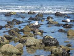 Tidepools (rasputina2) Tags: tidepool bird seagull leocarillostatebeach