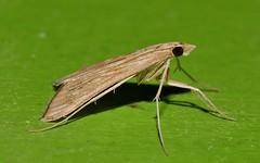 Streaky crambid moth Antigastra catalaunalis Spilomelinae Crambidae Mandalay rainforest Airlie BeachP1060751 (Steve & Alison1) Tags: streaky crambid moth antigastra catalaunalis spilomelinae crambidae mandalay rainforest airlie beach