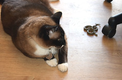 Izzy brought home a friend 629 (Donna's View) Tags: nikon d3300 cat siamesecat snowshoesiamese snake gartersnake thamnophissirtalis