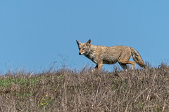 Coyote #145 (lennycarl08) Tags: coyote animalplanet pointreyesnationalseashore