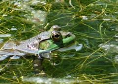 Wednesday's frog (EcoSnake) Tags: americanbullfrog lithobatescatesbeiana frogs amphibians water wildlife june idahofishandgame naturecenter
