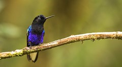 "Velvet-purple Coronet / Boissonneaua jardini / Colibrí Sietecolores. (Birding Tours Colombia) Tags: bird birds birding birdwatching colombia nature wildlife photography photos neotropics ""danieluribe"" ""birdingtourscolombia"" ave aves conservation ""birdingcolombia"" ""birdsofcolombia"" ""avesdecolombia"" ""birdingtours"" tour tours ""birdingincolombia"" feathers wings ""southamerica"" birdwatcher animal animals animalia outdoors tropical avistamiento flickr art travel outdoor nikkor depthoffield ""birdphotography"" ""wildlifephotography"" fauna avian hummingbird"