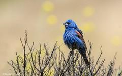 Fluffy grosbeak (Photosuze) Tags: birds avians aves animals nature wildlife blue bluegrosbeak male grosbeaks