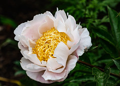 Peony 163 of 365 (Year 6) (bleedenm) Tags: chicagobotanicgarden doubleexposures latespring 2019 flowers glencoe greenhouse illinois june plants rainy