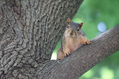 Fox Squirrels (and friends) on a Spring Day at the University of Michigan - June 12th, 2019 (cseeman) Tags: gobluesquirrels squirrels foxsquirrels easternfoxsquirrels michiganfoxsquirrels universityofmichiganfoxsquirrels annarbor michigan animal campus universityofmichigan umsquirrels06122019 spring eating peanuts juneumsquirrel juveniles juvenilesquirrels lefty leftysquirrel missingpaw umleftysquirrel