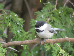 Black-capped Chickadee (Poecile atricapillus) (Gerald (Wayne) Prout) Tags: blackcappedchickadee poecileatricapillus animalia aves chordata passeriformes paridae poecile atricapillus blackcapped chickadee chickadees bird birds perchingbirds songbirds animal animals fauna wildlife nature mybackyard cityoftimmins mountjoytownship northeasternontario northernontario ontario canada prout geraldwayneprout canon canonpowershotsx60hs powershot sx60 hs digital camera photographed photography easternwhitecedar timmins northeastern northern backyard melrosegardens