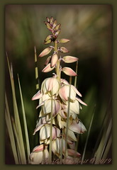 Yucca harrimaniae (ctofcsco) Tags: 11600 180mm 1d 1dmark4 1dmarkiv 1div aperturepriorityae canon explore explored geo:lat=3888043862 geo:lon=10478760537 geotagged image landscape nature papeton colorado coloradosprings didnotfire digital ef180mmf35lmacrousm eos eos1d eos1dmarkiv esplora evaluative f35 flashoff iso100 mark4 markiv photo pic pretty renown unitedstates usa