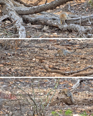 numbat triptych (liam.jon_d) Tags: awc dasyuridae myrmecobiusfasciatus australia australian australianwildlifeconservancy billdoyle calcrete carnivore carnivorous carnivorousmarsupial conservation conservationarea criticallyendangered dasyurid enclosure endangered endangeredanimal fencedenclosure mallee marsupial meyrmecobis murraymallee noombat numbat plain rare riverland sa sanctuary southaustralia southaustralian themallee walpurti yookamurra yookamurrasanctuary awconservancy