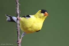 Goldfinch (rivadock4) Tags: moat goldfinch bird finch gold yellow