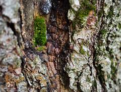Mousse poussant dans un arbre/Moss growing inside tree (bd168) Tags: écorce bark deadwood boismort bois wood boisensanté healthywood mousses mosses bokeh lumière détails details forêt forest walk promenade blessure wound insecttunnels tunnelsdinsectes light em10markii m1240mmf28pro lichen