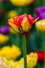 _DSC0755 (sklachkov) Tags: flower flowers tulip tulips spring colors
