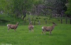 On Alert (walkerross42) Tags: deer muledeer doe buck antler velvet spring grazing alert bennington idaho bearlakecounty browsing