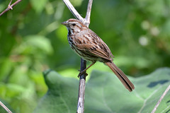 Bruant chanteur (guypaten) Tags: oiseaux lasalle montréal québec canada