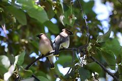 Jaseurs d'Amérique (guypaten) Tags: oiseaux lasalle montréal québec canada