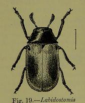 This image is taken from Page 96 of The Fauna of British India, including Ceylon and Burma [electronic resource] (Medical Heritage Library, Inc.) Tags: india ceylon burma entomology beetles lshtmlibrary ukmhl medicalheritagelibrary europeanlibraries date1906 idb2135277x0002