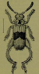 This image is taken from Page 89 of The Fauna of British India, including Ceylon and Burma [electronic resource] (Medical Heritage Library, Inc.) Tags: india ceylon burma entomology beetles lshtmlibrary ukmhl medicalheritagelibrary europeanlibraries date1906 idb2135277x0002