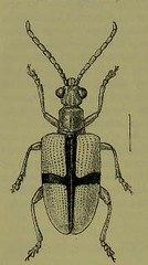 This image is taken from Page 80 of The Fauna of British India, including Ceylon and Burma [electronic resource] (Medical Heritage Library, Inc.) Tags: india ceylon burma entomology beetles lshtmlibrary ukmhl medicalheritagelibrary europeanlibraries date1906 idb2135277x0002