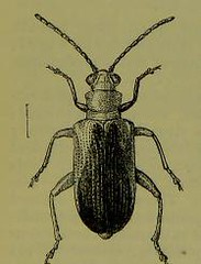This image is taken from Page 51 of The Fauna of British India, including Ceylon and Burma [electronic resource] (Medical Heritage Library, Inc.) Tags: india ceylon burma entomology beetles lshtmlibrary ukmhl medicalheritagelibrary europeanlibraries date1906 idb2135277x0002