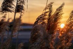 Golden Hour (Kevin Tataryn) Tags: evening sunset sundown golden sun plant reed hdr nikon d500 tamron 70200 canada