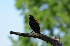 Carouge mâle (guypaten) Tags: oiseaux lasalle montréal québec canada