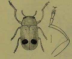 This image is taken from Page 100 of The Fauna of British India, including Ceylon and Burma [electronic resource] (Medical Heritage Library, Inc.) Tags: india ceylon burma entomology beetles lshtmlibrary ukmhl medicalheritagelibrary europeanlibraries date1906 idb2135277x0002