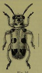 This image is taken from Page 90 of The Fauna of British India, including Ceylon and Burma [electronic resource] (Medical Heritage Library, Inc.) Tags: india ceylon burma entomology beetles lshtmlibrary ukmhl medicalheritagelibrary europeanlibraries date1906 idb2135277x0002