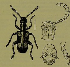 This image is taken from Page 85 of The Fauna of British India, including Ceylon and Burma [electronic resource] (Medical Heritage Library, Inc.) Tags: india ceylon burma entomology beetles lshtmlibrary ukmhl medicalheritagelibrary europeanlibraries date1906 idb2135277x0002