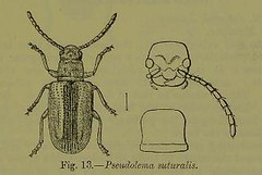 This image is taken from Page 83 of The Fauna of British India, including Ceylon and Burma [electronic resource] (Medical Heritage Library, Inc.) Tags: india ceylon burma entomology beetles lshtmlibrary ukmhl medicalheritagelibrary europeanlibraries date1906 idb2135277x0002