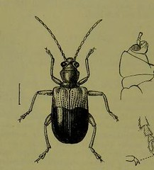 This image is taken from Page 58 of The Fauna of British India, including Ceylon and Burma [electronic resource] (Medical Heritage Library, Inc.) Tags: india ceylon burma entomology beetles lshtmlibrary ukmhl medicalheritagelibrary europeanlibraries date1906 idb2135277x0002