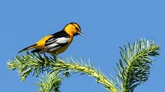 Bullock's Oriole (Gary R Rogers) Tags: bluesky male oregon bullocksoriole bird black green perched orange