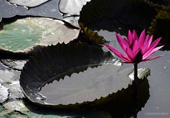 Pink Lotus Flower (mkumar.photographer001) Tags: